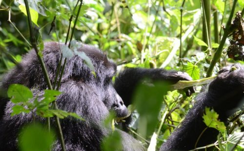12 Days Gorillas and Wildlife Safari Uganda