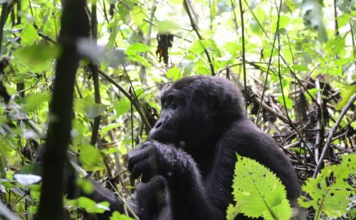 13 Days Uganda gorilla safari & wildlife tour