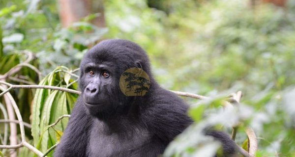 3 Days Bwindi Uganda Gorilla Trekking Safari - Wild Jungle Trails Safaris
