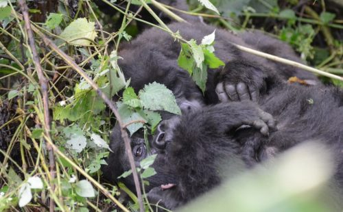 3 Days Gorilla Habituation Safari Uganda - Uganda Gorilla Safaris Trails