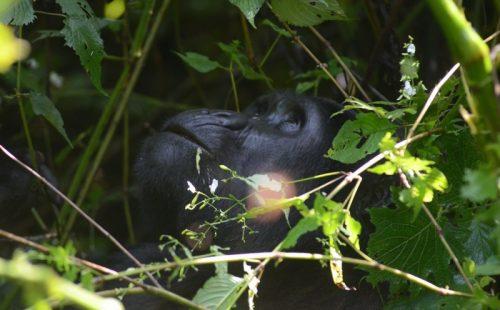 4 Days Bwindi Gorilla Trekking Flying Safari