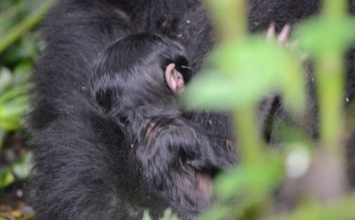 5 Days Bwindi Gorilla safari & Queen Elizabeth wildlife tour