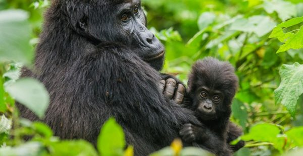 5 Days Congo gorilla safari and chimpanzee habituation tour