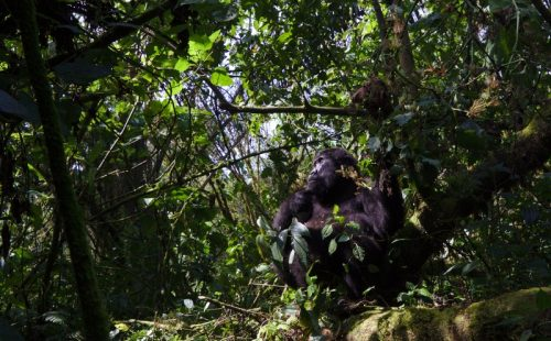 Gorilla trek safari congo and uganda