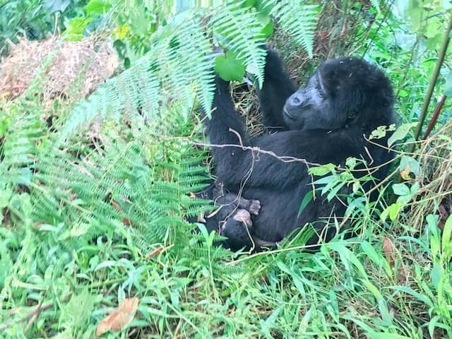 Mubare group, oldest gorilla family in Bwindi gets new baby gorilla October 2019 –Travel News