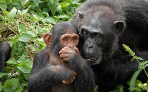 Ngamba Island Chimpanzee Sanctuary_800x535
