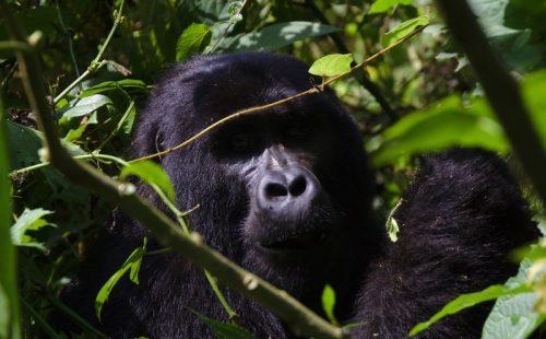 Rwanda Gorilla Safaris Tour