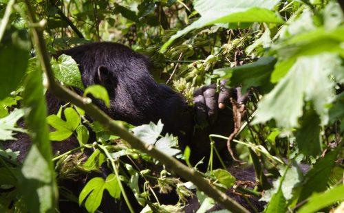 Uganda Gorilla trek tour
