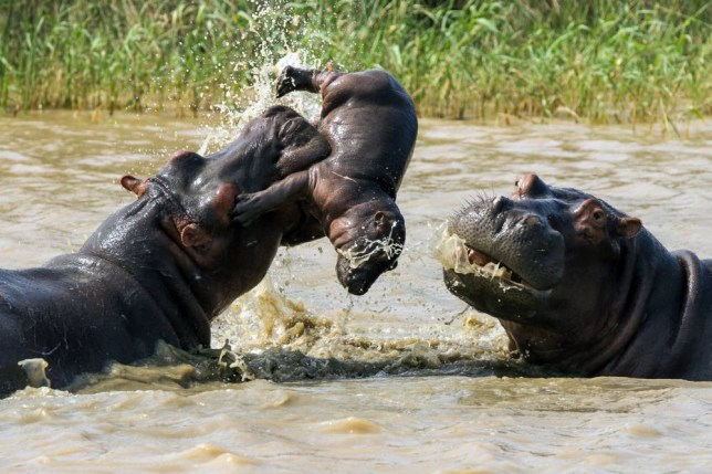 Why Baby hippos are killed by the adult males