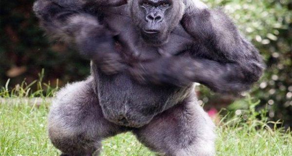 silverback gorillas in mgahinga gorilla national park_640x600