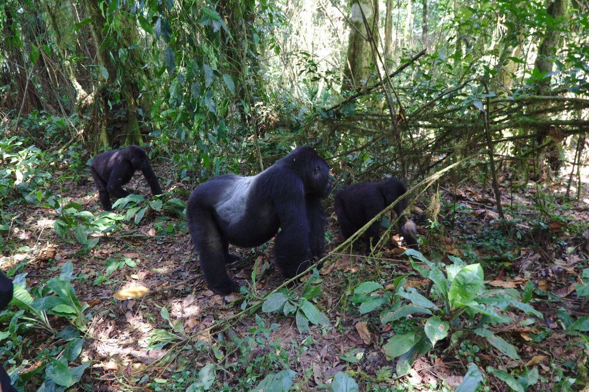 Gorilla trekking in Bwindi Forest National Park