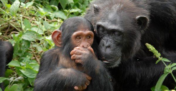 1 Day Ngamba Island Chimpanzee Sanctuary Tour