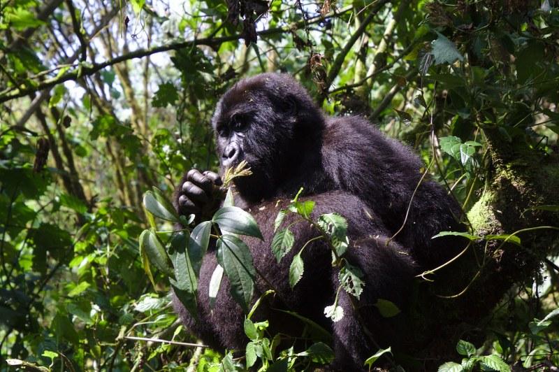 Rwanda Gorilla Safari Uganda gorilla tour