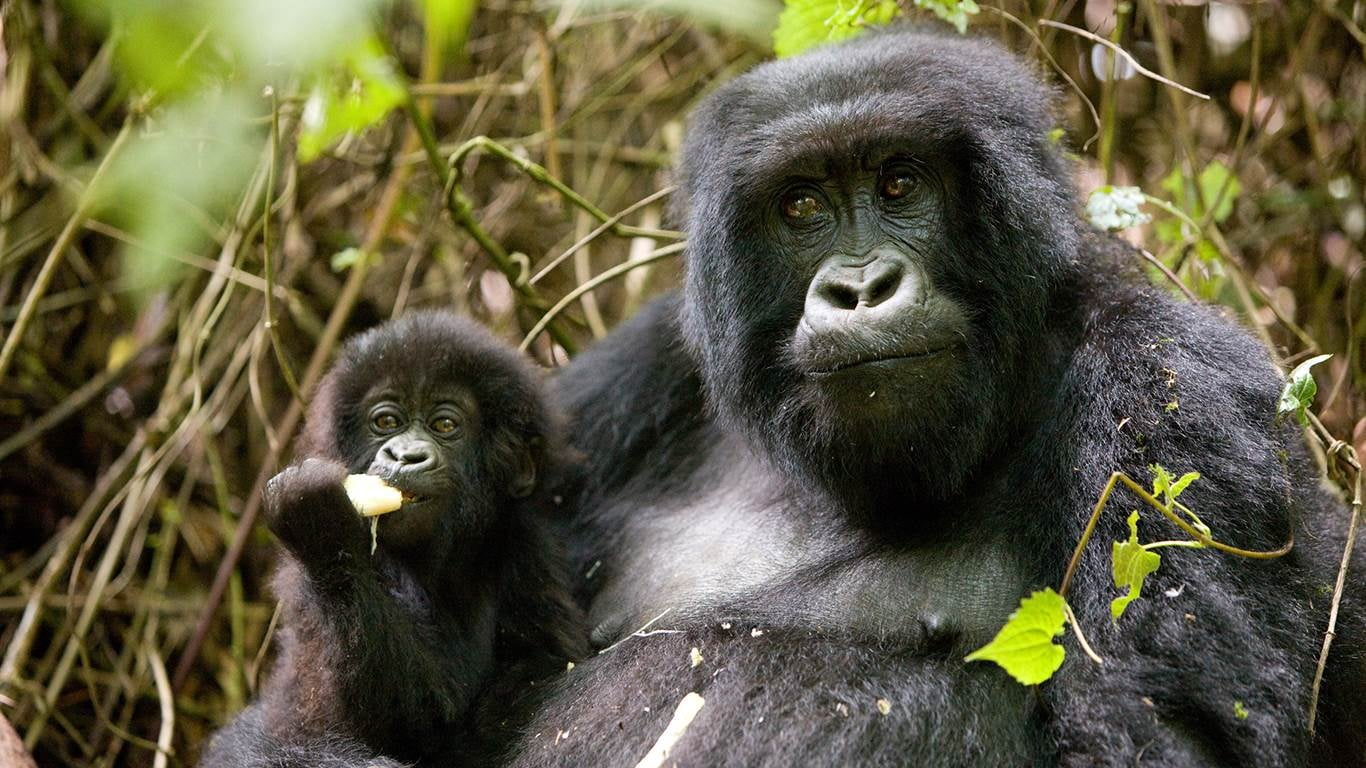 gorilla and a baby